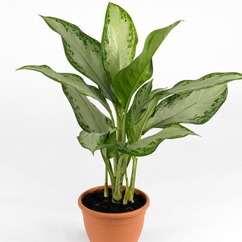 Air Purifying Plants - Chinese Evergreen