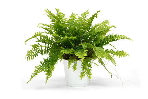 Air Purifying Plants - Boston Fern