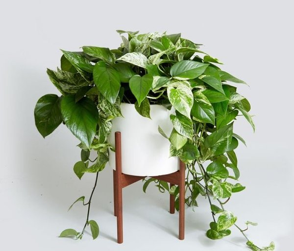 Air Purifying Plants - Golden Pothos