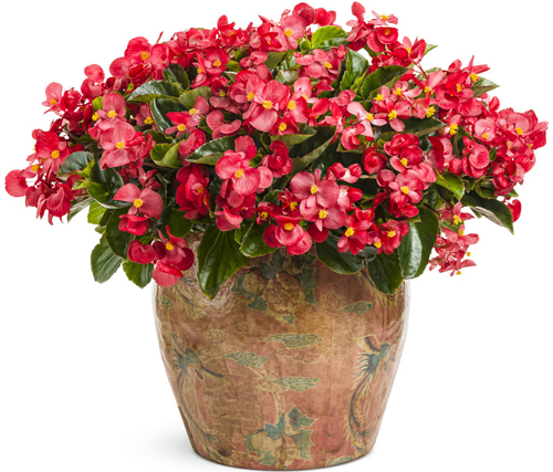 Air Purifying Plants - Wax Begonia