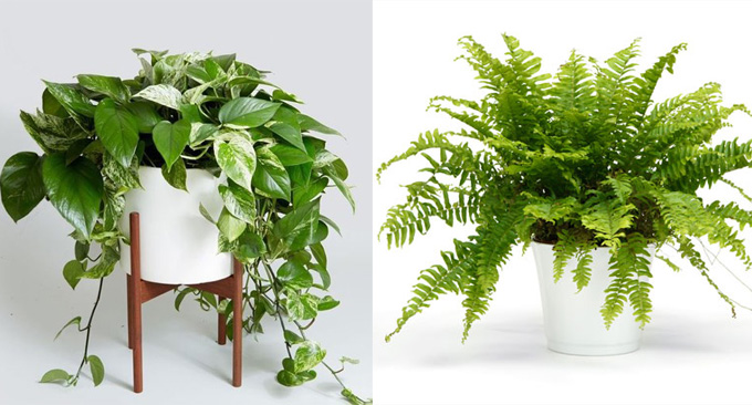 6 air purifying plants that will clean the air and boost your mood. Black Bedroom Furniture Sets. Home Design Ideas