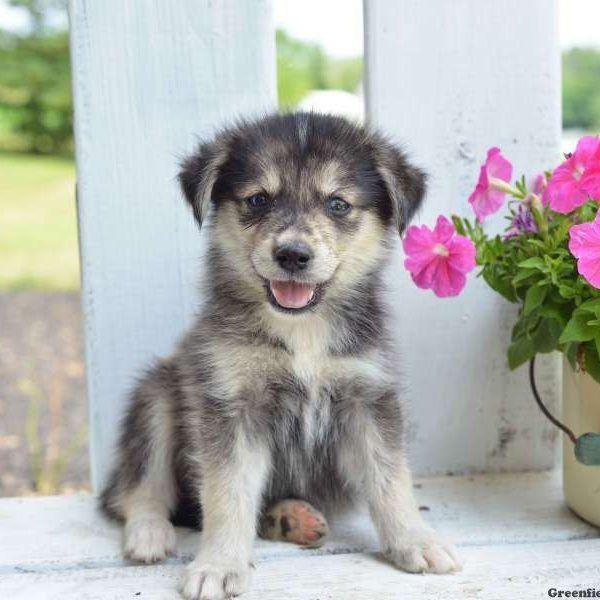Goberian puppy
