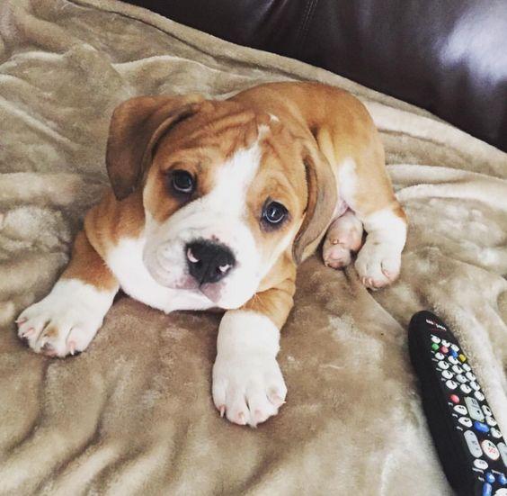 Beabull puppy