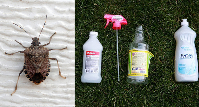 How To Get Rid of Those Nasty Stink Bugs