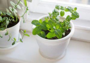 Catnip - Plants that help repel bugs